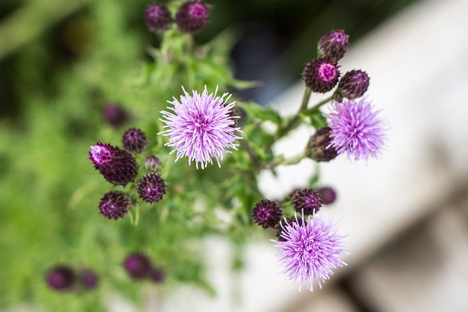 Flower, Purple, Swamp, Bloom, Bud, Purple Flower