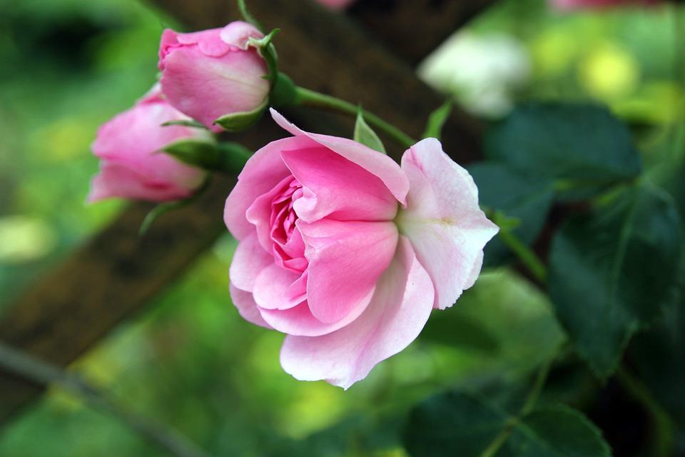 Rose, Bud, Flowers, Three