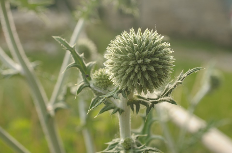 Thistle, Weed, Nature, Bud, Flower