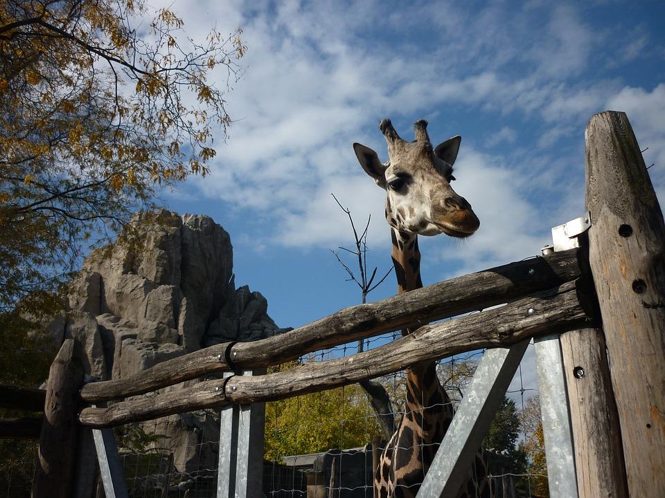 Giraffe, Zoo, Animal, Spotted, Mammal, Nature, Budapest