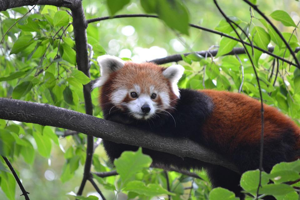 Red Panda, Zoo, Budapest
