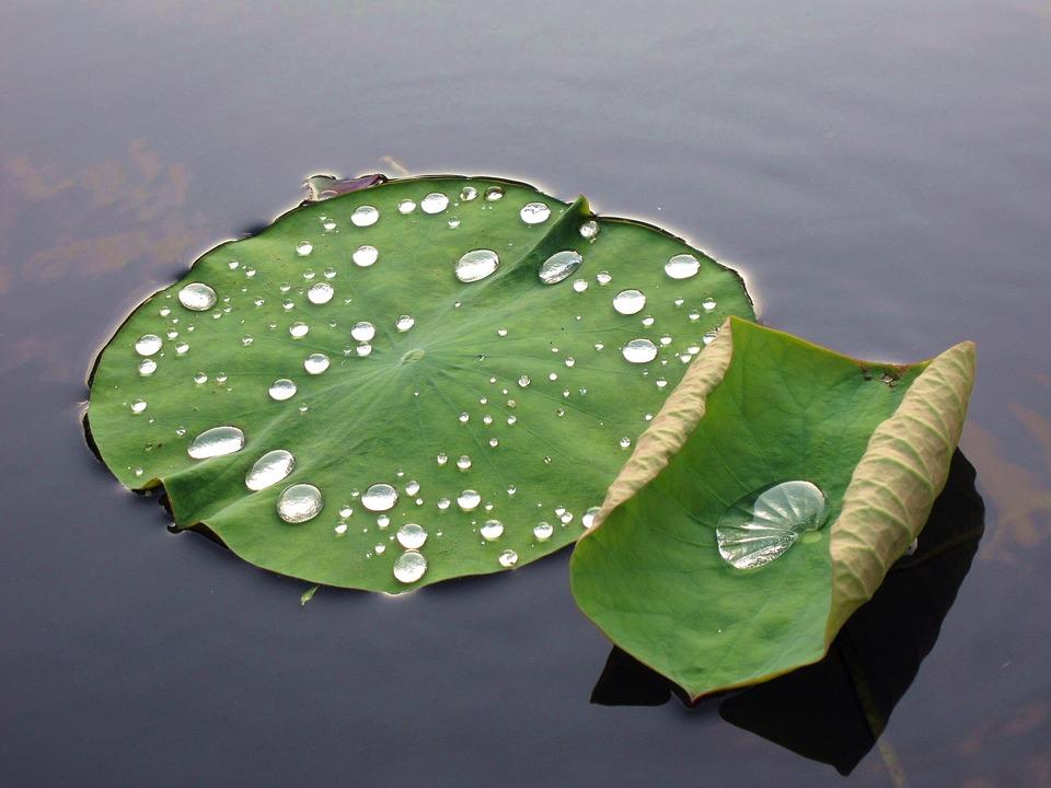 蓮 Leaf, Dew, Buddhism, Pond, Water Plant, Drops