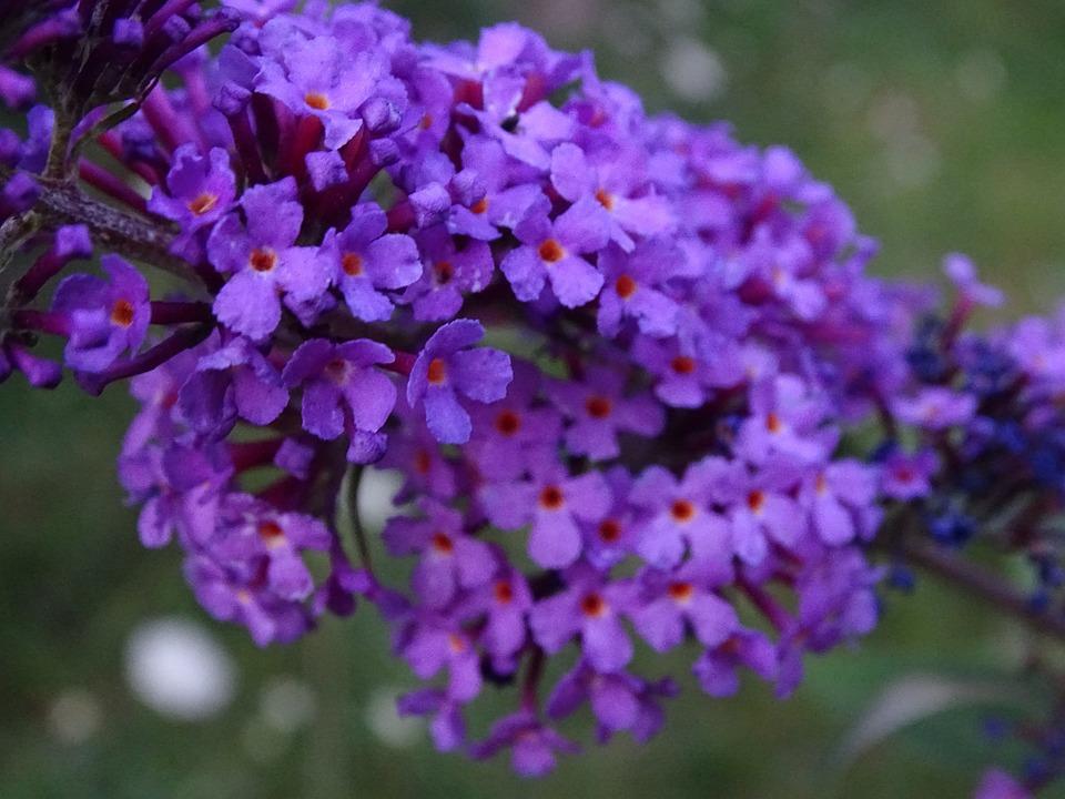 Summer Lilac, Buddleja Davidii, Lilac, Butterfly Bush