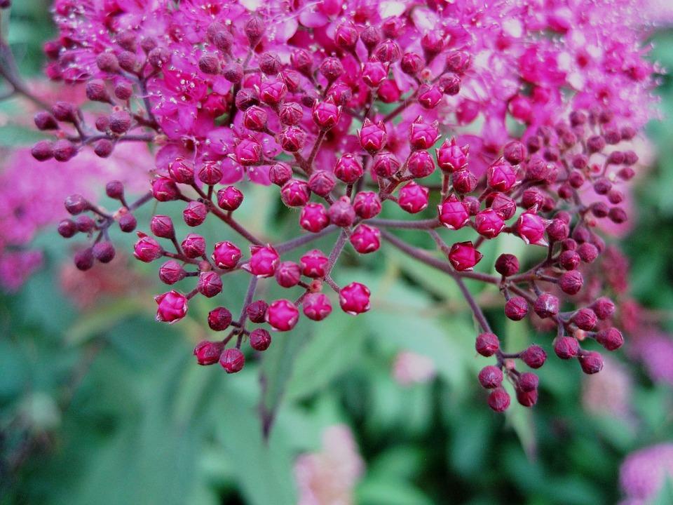 Flowers Head Pink Small Bright Buds Garden