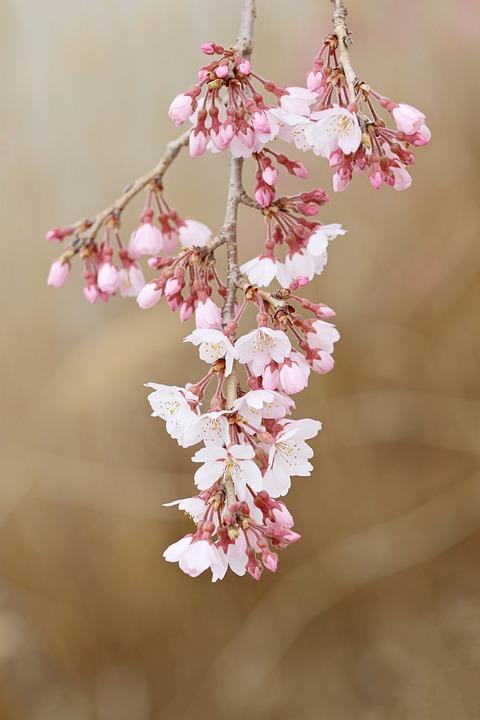 Cherry Blossom, Flowers, Spring, Buds, Branch