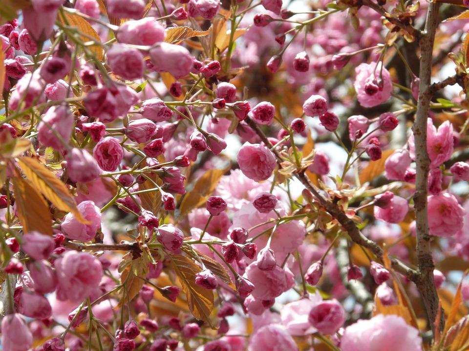 Tree, Buds, Cherry Blossom, Japanese Cherry Tree