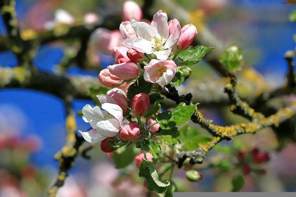 Apple Blossoms, Flowers, Branch, Buds, Pink Flowers