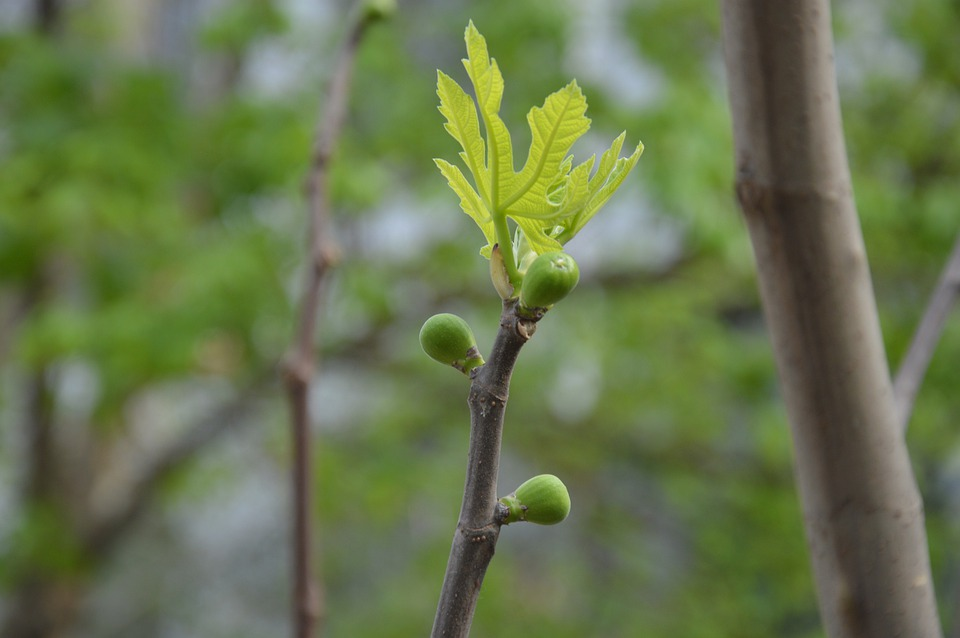 Free Photo Buds Leaf Fig Tree Branch Spring Flowers Max Pixel
