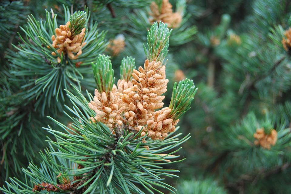 Pine, Buds, Forest, Green, Nature, Tree, Needles