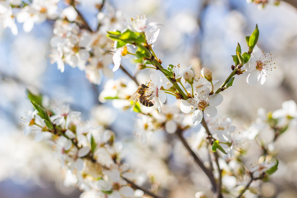 Plum Blossom, Flowers, Bee, Insect, Pollination, Buds