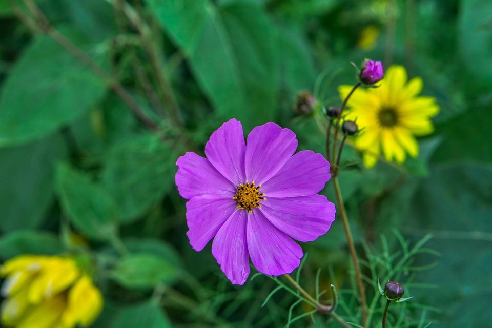 Cosmos, Flower, Plant, Purple Flower, Petals, Buds