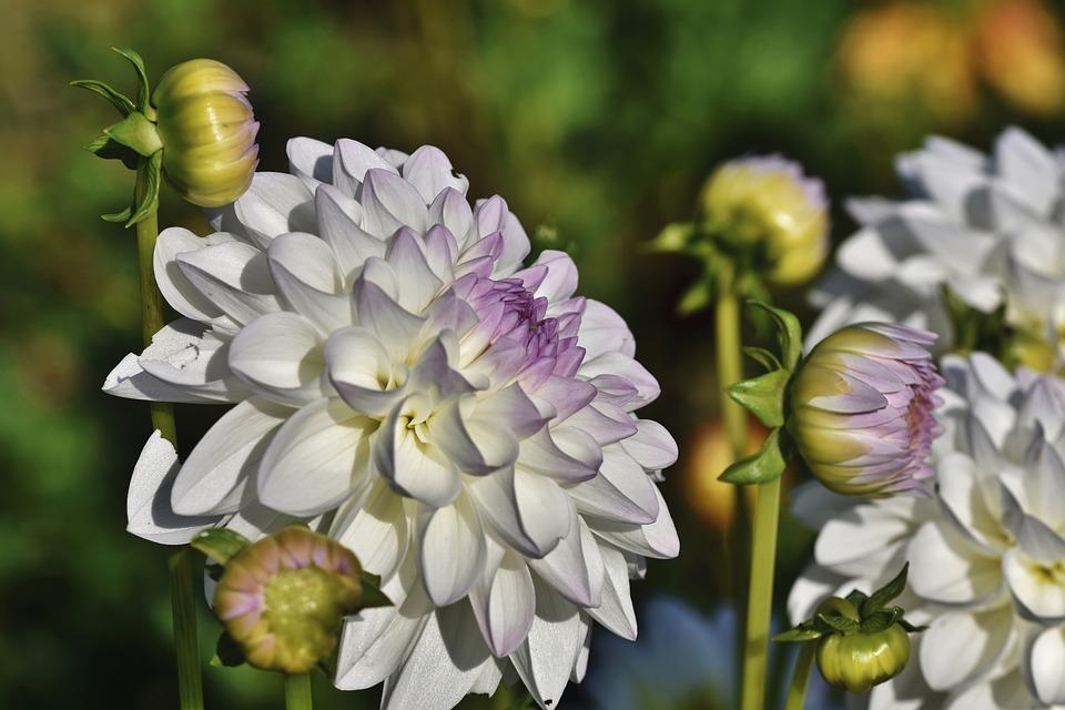 Dahlias, Flowers, White Flowers, Buds, Petals