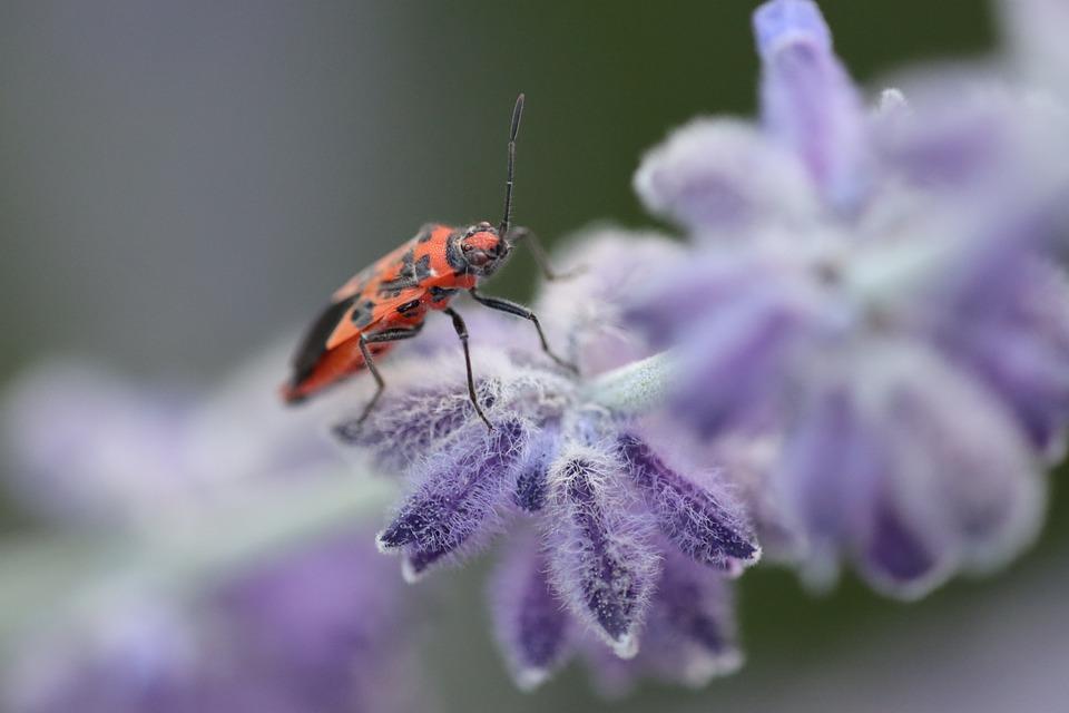 Firebug, Bug, Insect, Pest, Animal, Flower, Bloom