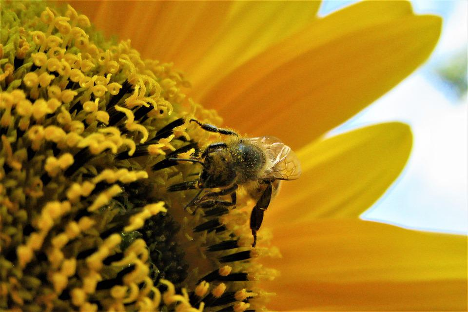 Bees, Pollen, Sunflower, Bee, Pollination, Bug, Nature