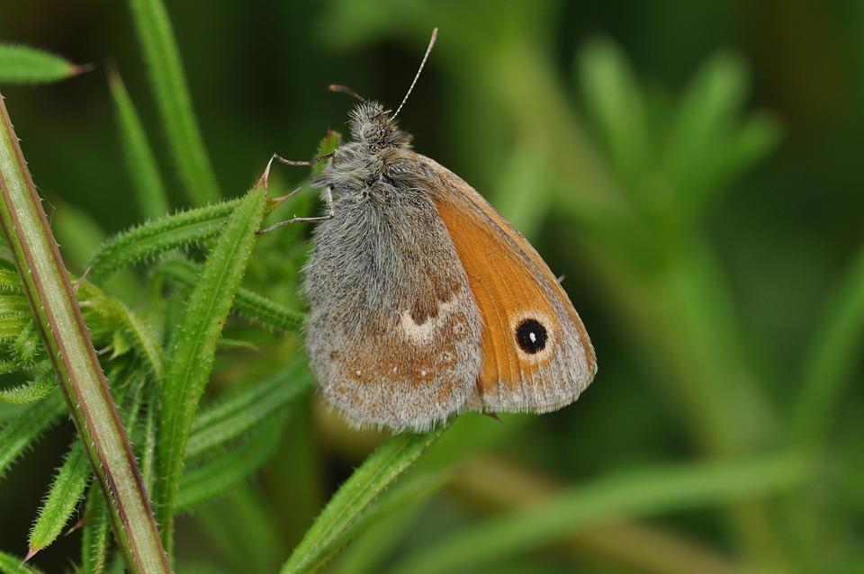 Hooibeestje, Butterfly, Spring, Nature, Bug