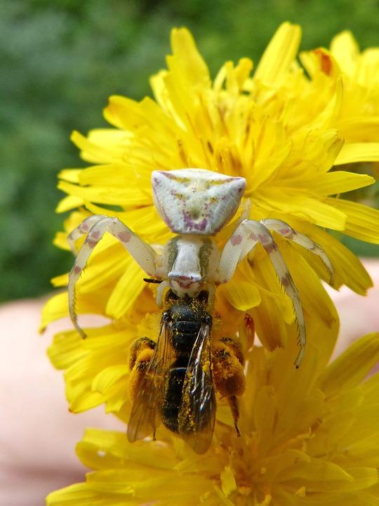 Spider, Predator Bee, Hunting, Bug Hunted, Dandelion