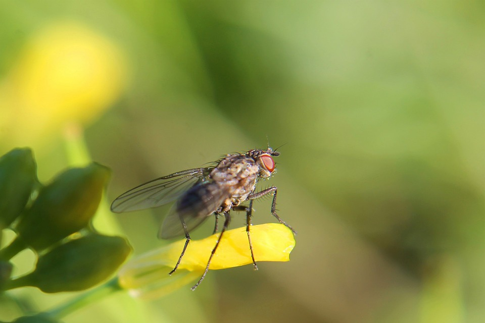Fly, Close-up, House Fly, Insect, Wing, Wildlife, Bug