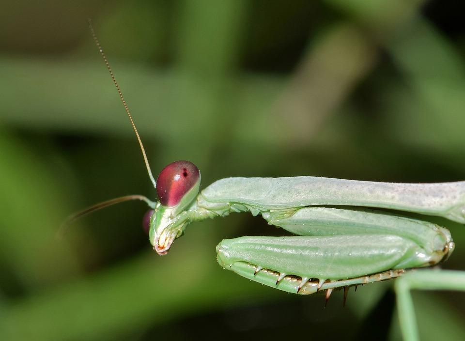 Praying Mantis Insect Bug Green