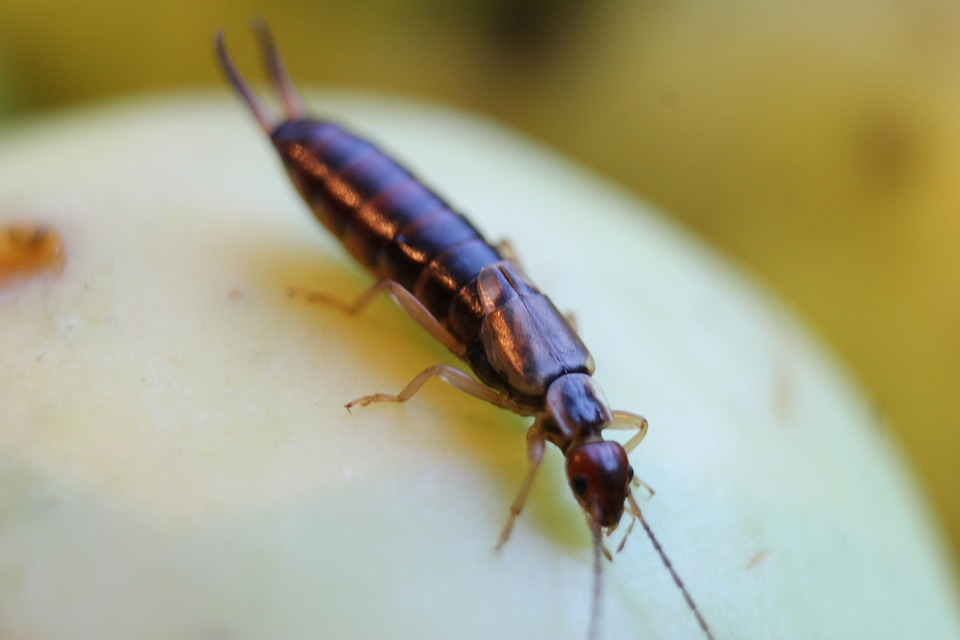 Earwig, Bug, Nature, Insect