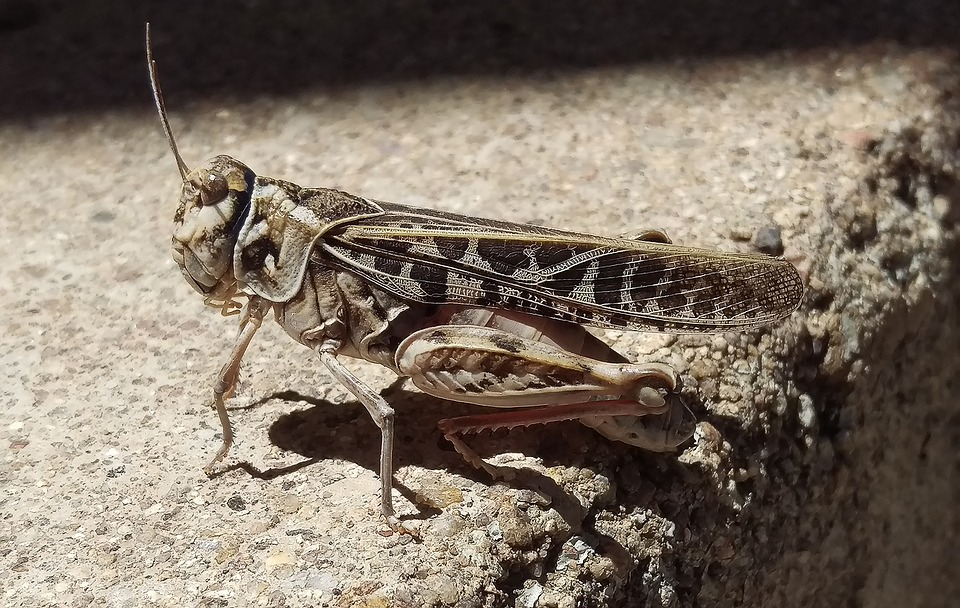 Grasshopper, Insect, Bug, Nature