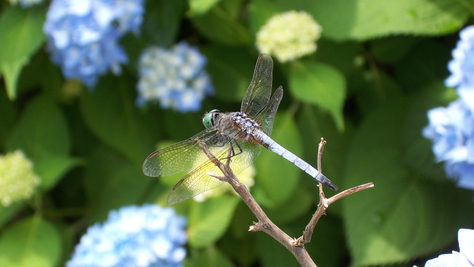 Dragonfly, Insect, Animal, Nature, Green, Bug, Summer