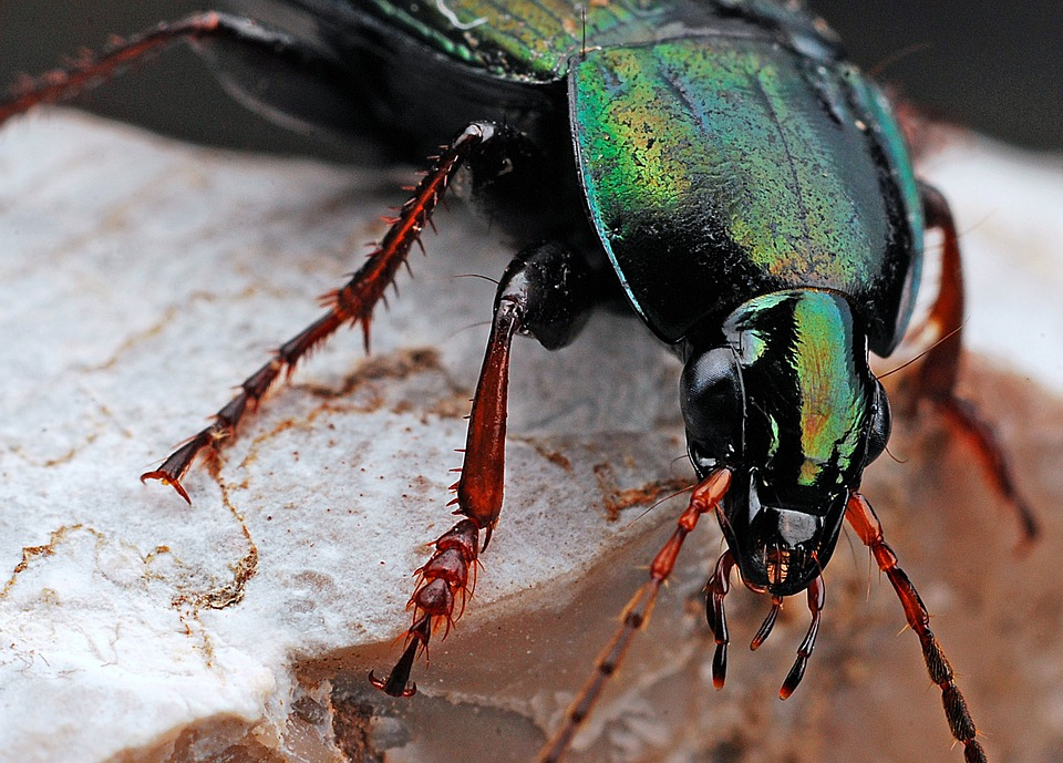 Beetle, Insect, Macro, Nature, Black, Bug