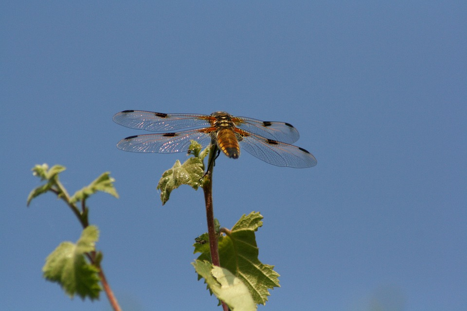 Dragonfly, Nature, Bug
