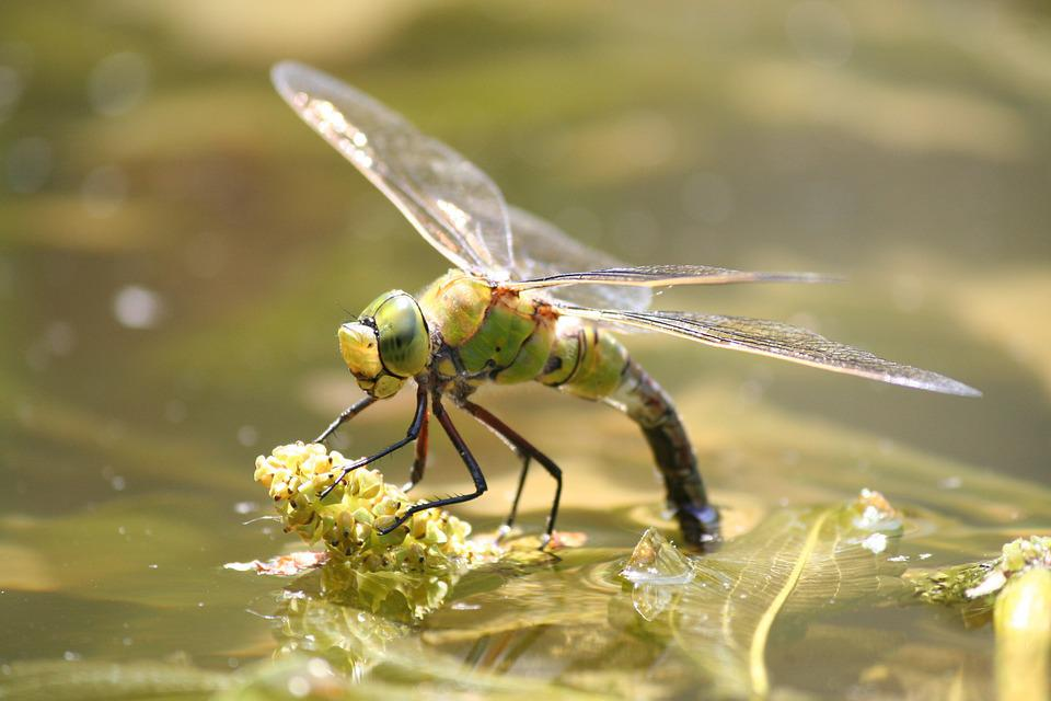 Dragonfly, Bug, Nature, Garden, Pond, Green