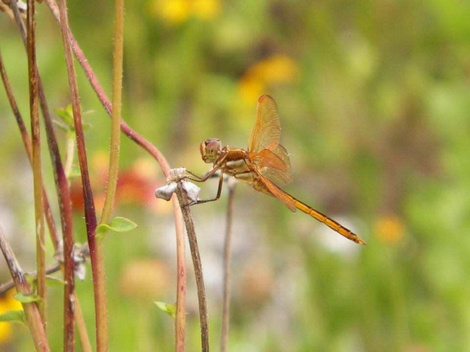 Insect, Dragonfly, Nature, Animal, Wing, Bug, Summer