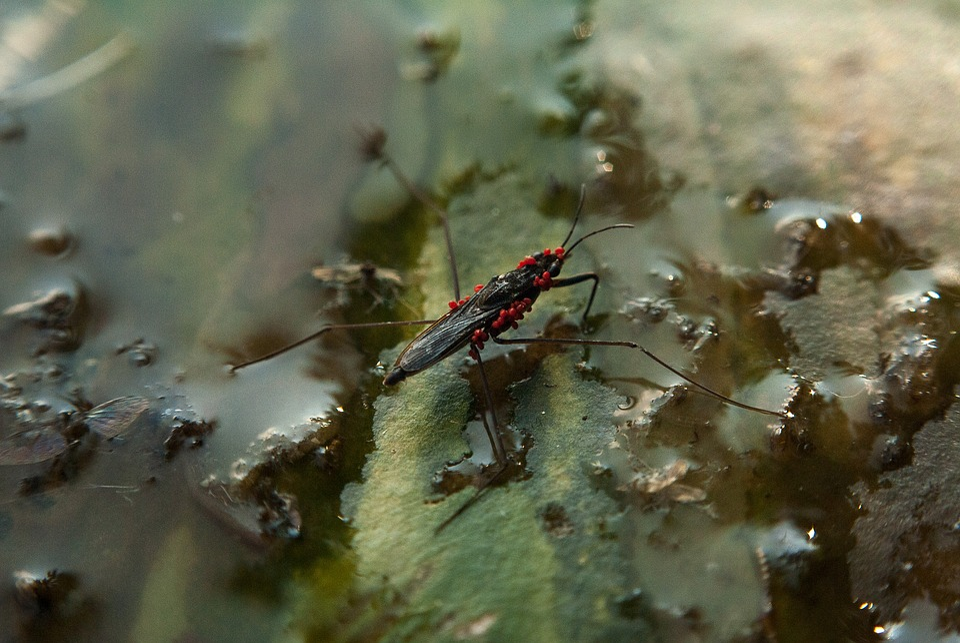 Strider, Mite, Red Mite, Water Strider, Water, Bug