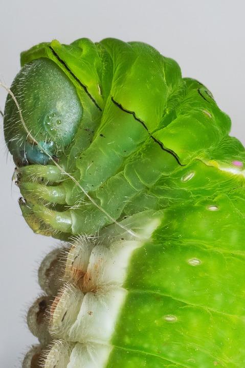 Caterpillar, Macro, Nature, Wildlife, Larva, Bug