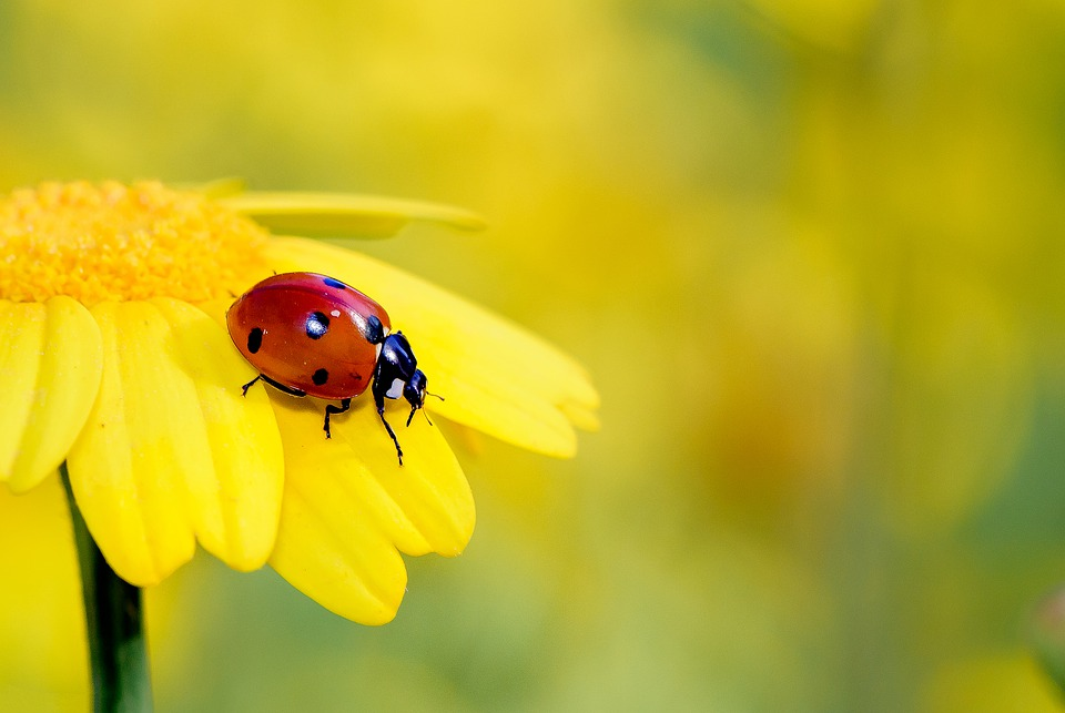 Insects, Yellow, Flower, Ladybug, Bug, Red