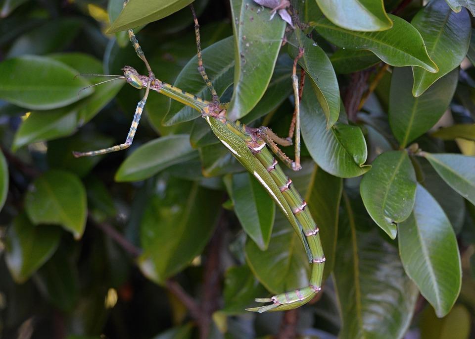 Phasmatodea, Stick Insect, Animals, Bugs, Animal, Bug