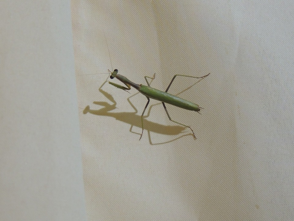 Mantis Religiosa, Mantis, Bugs, Insects, Animals