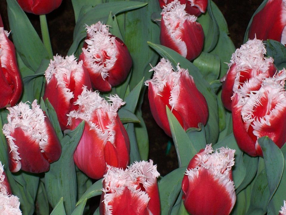 Flowers, Tulips, Spring, Bulb, Bulbs