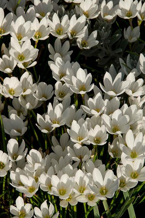 Rain Lily, Zephyranthes Grandiflora, White, Bulb