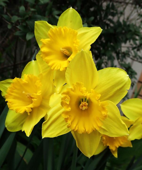 Daffodils, Spring, Yellow, Flowers, Bulbs, Garden