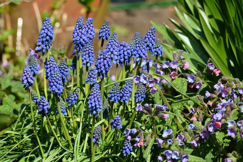 Blue Grape, Blue, Spring, Bulbs, Garden, Flower, Nature