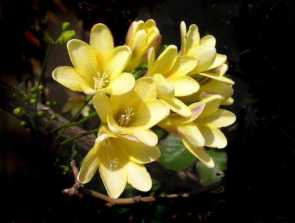 Free photo bulbs yellow flowers spring perfume max pixel yellow flowers spring bulbs perfume mightylinksfo