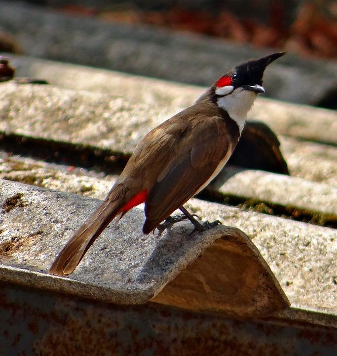 Red, Whiskered, Bulbul, Bird, Bulbuls, Tropics, Dharwad