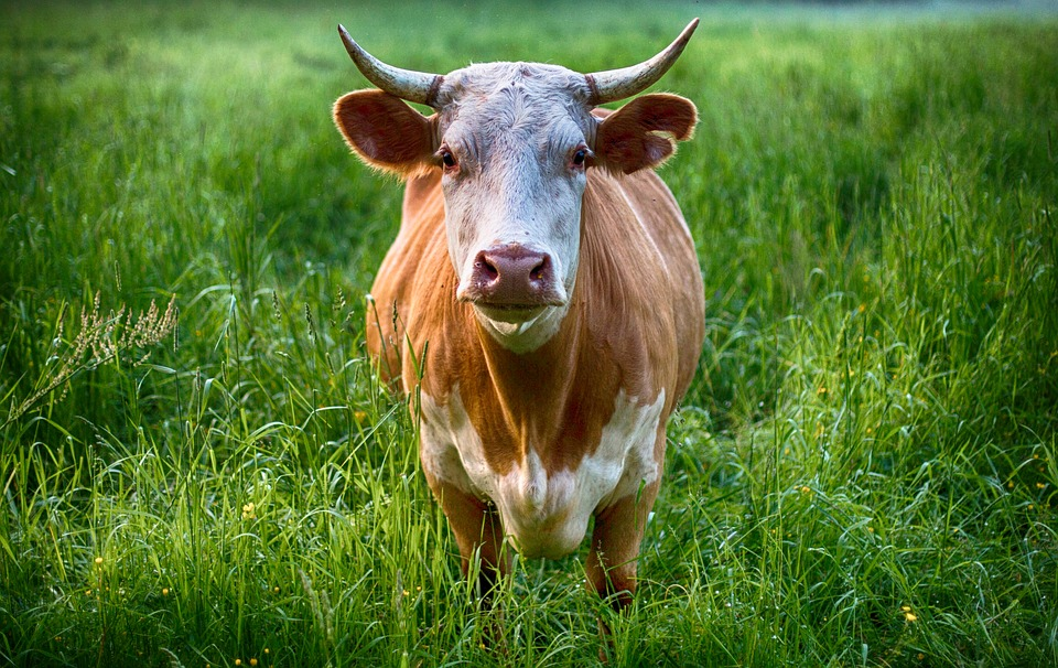 Bull, Cow, Animal, Farm, Agriculture, Cattle, Nature