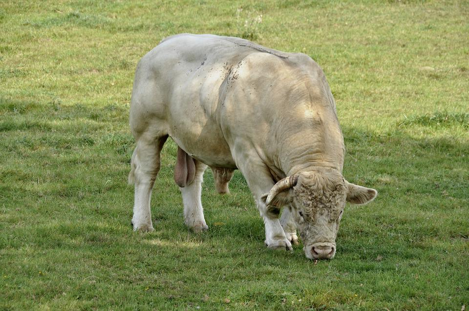 Mammal, Animal, Beef, Bull, Charolais, Meadow, Grass