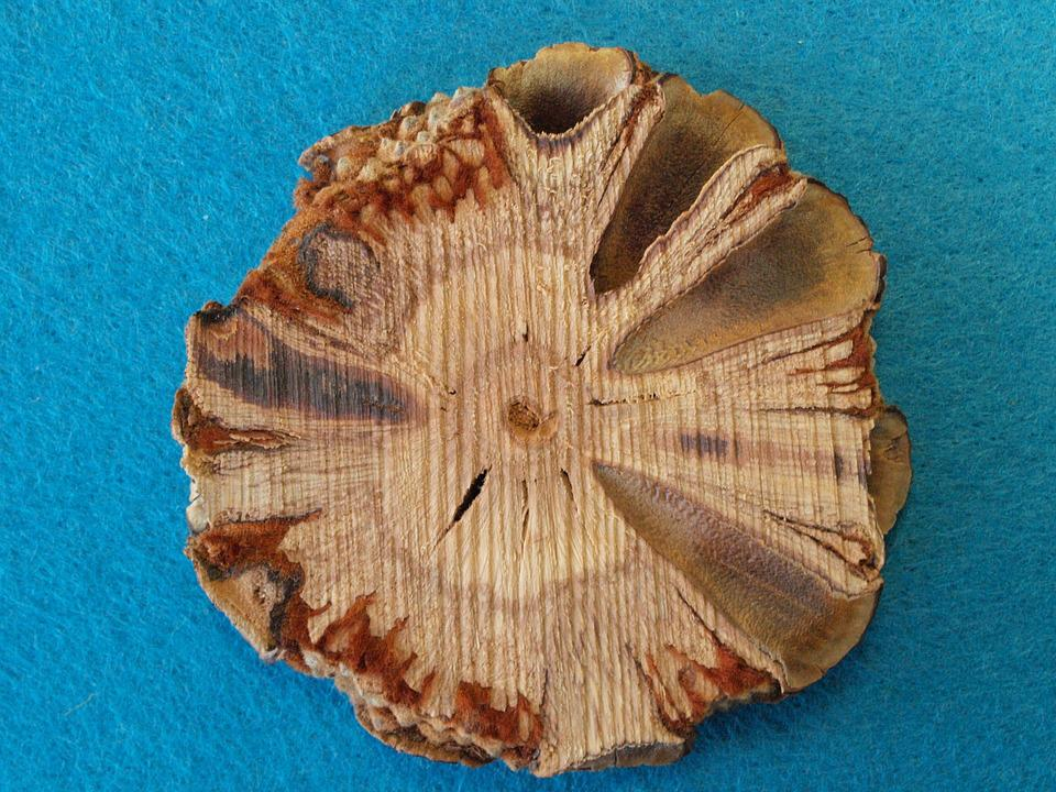 Banksia Grandis Disc, Bull Banksie, Australia, Tap