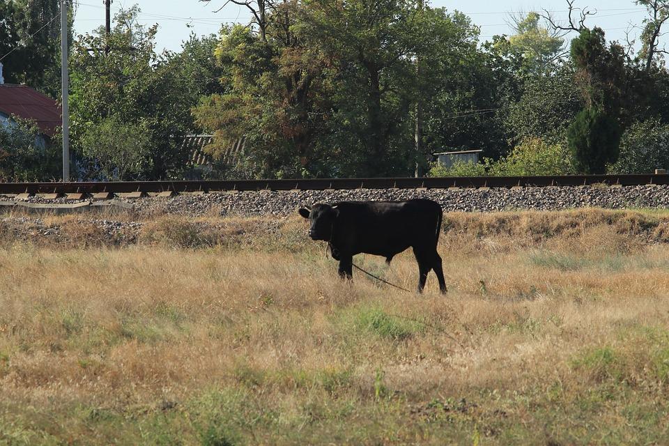 Bull, Iron, Road, Rails, Pasture