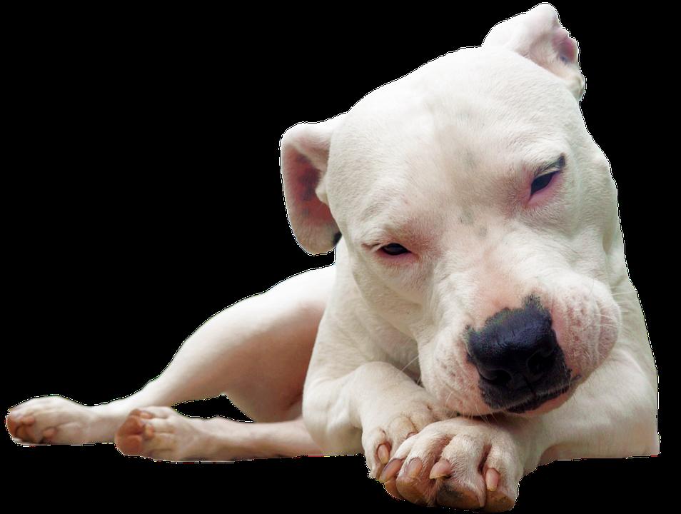 Isolated, Bull Terrier, White, Dog, Race
