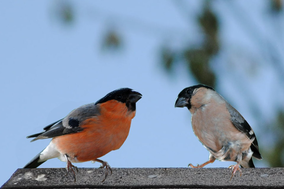 Birds, Bullfinch Male, Female