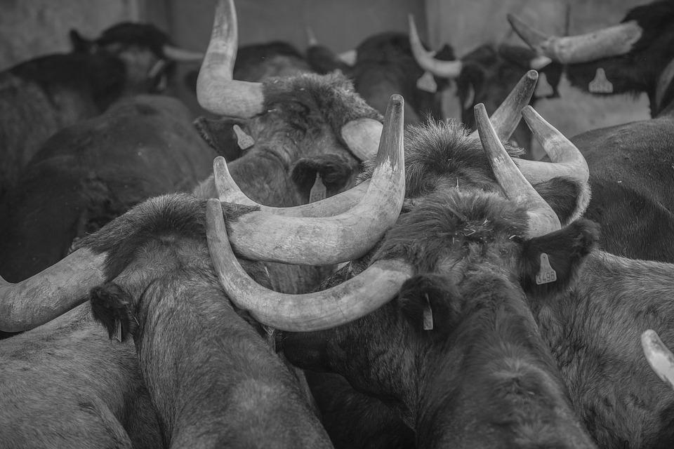 Spain, Bulls, Calluses, Fauna, Group, Animals