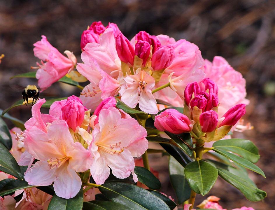 Azalea, Pink, Blossoms, Bumble Bee, Flowers, Shrub
