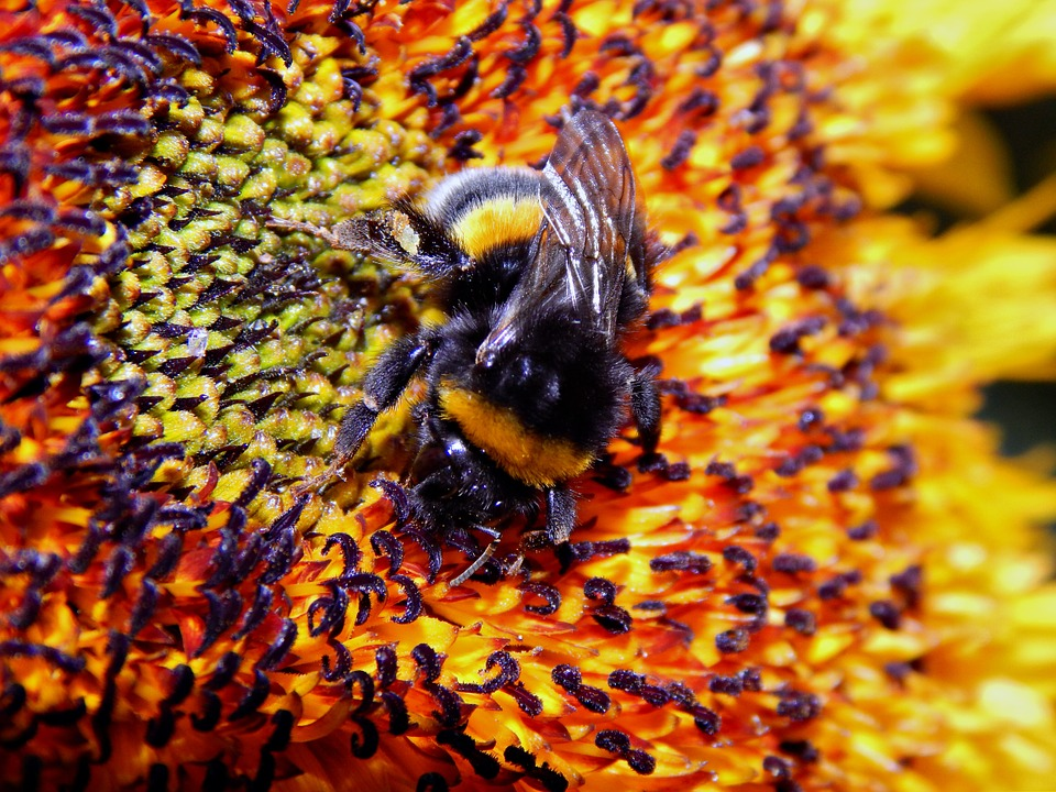 Insect, Bumble-bee, Flower, Nature, Sunflower, Pollen