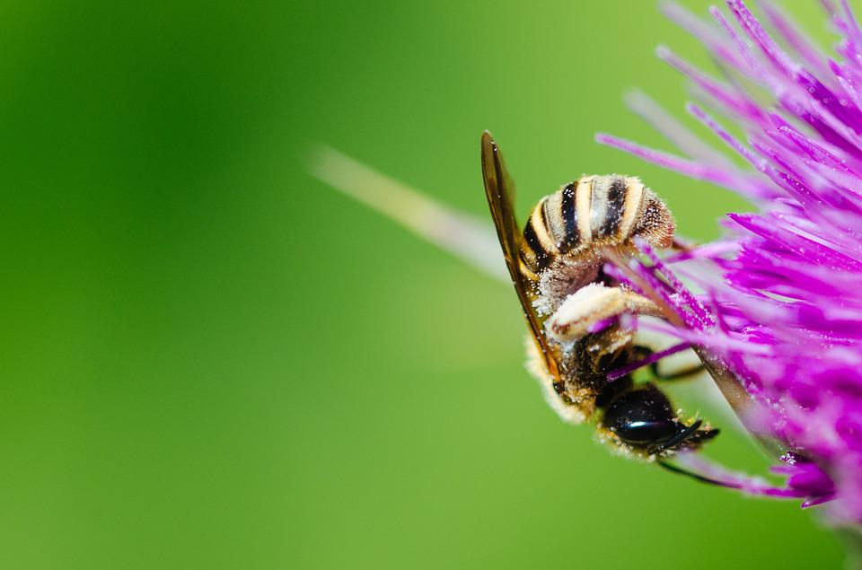 Animal, Bee, Bumblebee, Close-up, Color, Flora, Flower